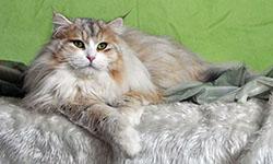Oreithyia - Coccola Siberiana - Allevamento Gatto Siberiano - Buccinasco Milano
