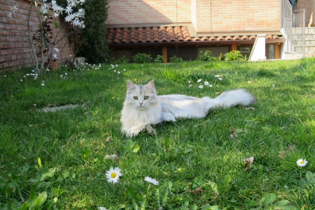 Shayna S*Alvnas - Coccola Siberiana - Allevamento Gatto Siberiano - Buccinasco Milano