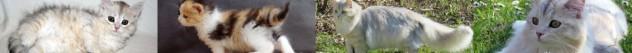 Coccola Siberiana - Allevamento Gatto Siberiano - Buccinasco Milano