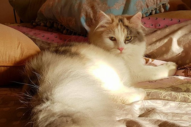 Eternal Magic Glamour - Coccola Siberiana - Allevamento Gatto Siberiano - Buccinasco Milano